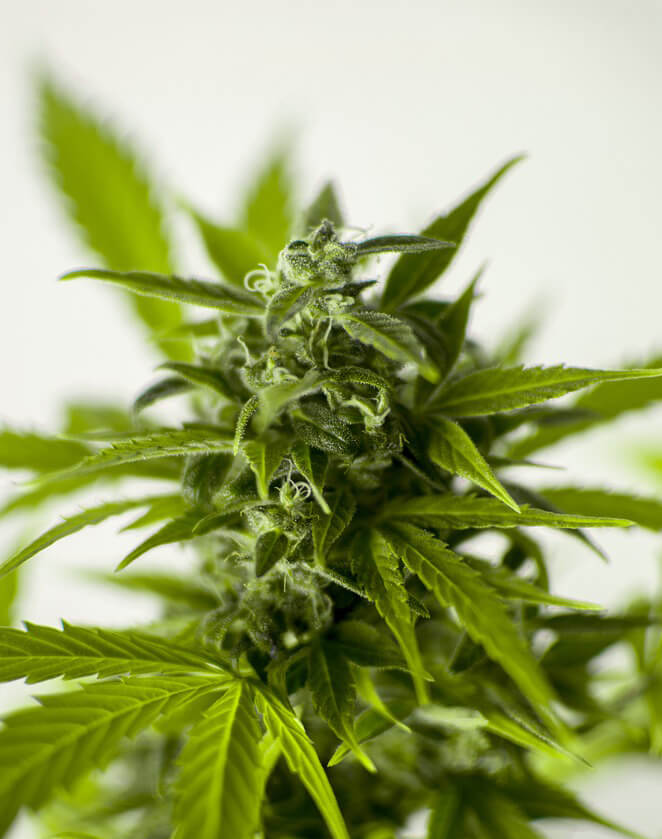 Close-up of a cannabis plant.